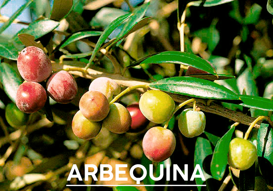 aceite-de-oliva-arbequina1