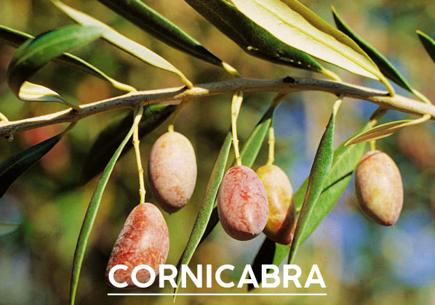 aceite-de-oliva-cornicabra1