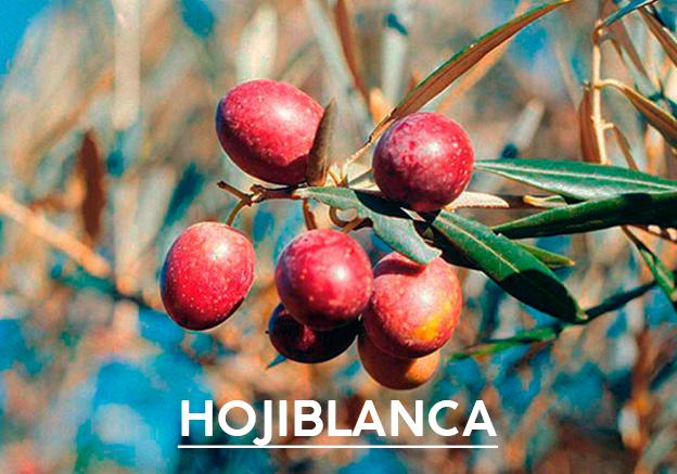 aceite-de-oliva-hojiblanca1